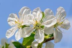 Albero di bianco del fiore Immagine Stock Libera da Diritti