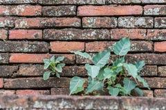 Albero di Bodhi e della pianta sui vecchi precedenti della parete Fotografia Stock