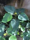 Albero di Bodhi poco albero di bodhi Fotografie Stock Libere da Diritti