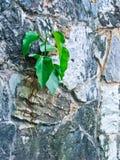 Albero di Bohdi che cresce dalla parete Immagini Stock