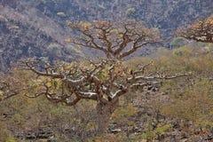 Albero di Boswellia (albero del franchincenso) immagine stock libera da diritti
