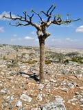 Albero di Boswellia (albero del franchincenso) Fotografie Stock