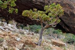 Albero di Boswellia (albero del franchincenso) immagini stock