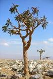 Albero di Boswellia (albero del franchincenso) fotografia stock