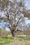 Albero di Bushland Fotografie Stock