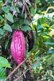 Albero di cacao su Bali Fotografie Stock