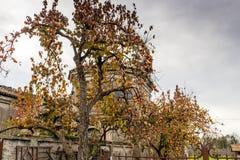 Albero di cachi e chiesa della fattoria Immagini Stock Libere da Diritti