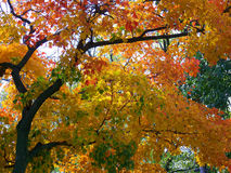 albero di caduta fotografie stock libere da diritti