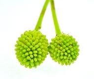 Albero di cavo verde del fiore della foresta o popinac bianco Fotografie Stock Libere da Diritti
