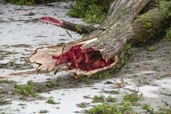Albero di cedro con il centro rosso rotto dai venti severi in una tempesta che mette su pavimentazione con i rami e gli aghi spar immagini stock libere da diritti
