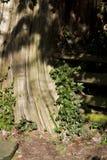 Albero di cedro, recinto del ceppo di spaccatura con la crescita dell'edera Immagini Stock Libere da Diritti