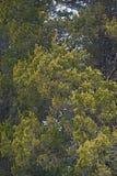 Albero di cedro rosso Fotografia Stock