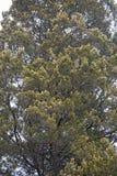 Albero di cedro rosso Fotografie Stock
