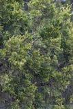 Albero di cedro rosso Immagine Stock
