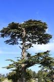 Albero di cedro sui precedenti di nuvoloso fotografie stock libere da diritti