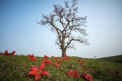 Albero di ceiba di fioritura del bombax con il fiore di caduta su priorità alta Fotografia Stock Libera da Diritti