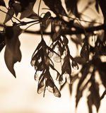 Albero di cenere in autunno. Seppia. Fotografie Stock