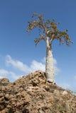 Albero di cetriolo (socotranum di dendrosicyos) Fotografia Stock Libera da Diritti