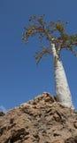 Albero di cetriolo (socotranum di dendrosicyos) Immagini Stock