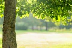 Albero di Chesnut con le foglie Fotografia Stock