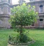 Albero di Chinar - l'albero parlante del Kashmir Fotografia Stock