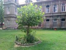 Albero di Chinar - l'albero parlante del Kashmir Immagine Stock