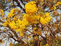 Albero di chrysotricha di Tabebuia, albero di oro, albero di tromba d'argento, y Immagine Stock Libera da Diritti