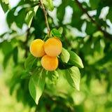 Albero di ciliegia susina con i frutti Immagine Stock Libera da Diritti