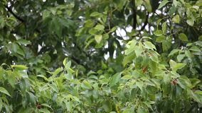 Albero di cinnamomum camphora con pioggia video d archivio