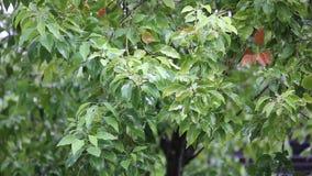 Albero di cinnamomum camphora con pioggia archivi video