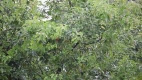 Albero di cinnamomum camphora con pioggia stock footage