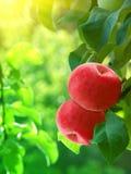 Albero di colore rosso delle mele Fotografia Stock