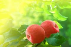 Albero di colore rosso delle mele Immagini Stock Libere da Diritti