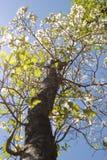 Albero di corniolo Fotografia Stock Libera da Diritti