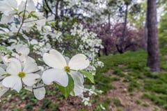 Albero di corniolo in primavera Immagine Stock Libera da Diritti
