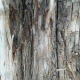 Albero di corteccia stagionato Fotografia Stock