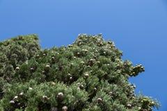 Albero di Cypress con i coni rotondi Fotografia Stock Libera da Diritti