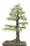 Albero di Cypress isiolated sopra bianco Fotografia Stock Libera da Diritti