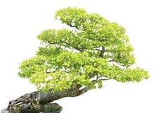 Albero di Cypress isiolated sopra bianco Immagini Stock Libere da Diritti