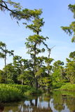 Albero di Cypress in palude Fotografie Stock