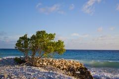 Albero di Divi Divi - Bonaire Fotografie Stock Libere da Diritti