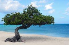 Albero di Divi Divi sulla spiaggia dell'aquila in Aruba Immagine Stock