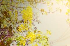 Albero di doccia dorata, cassia fistula Fotografia Stock Libera da Diritti