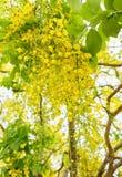 Albero di doccia dorata, maggiociondolo indiano, fiore giallo del koon, fiorente Immagine Stock