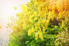 Albero di doccia dorata nel cassia fistula di estate immagini stock libere da diritti