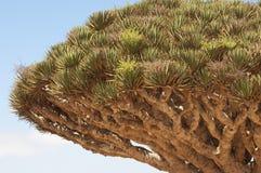 Albero di drago. Isola di Socotra Immagine Stock