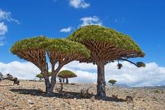 Albero di Dragon Blood, socotra, isola, Oceano Indiano, Yemen, Medio Oriente Fotografie Stock Libere da Diritti