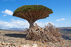 Albero di Dragon Blood, socotra, isola, Oceano Indiano, Yemen, Medio Oriente Fotografia Stock Libera da Diritti