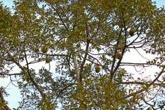 Albero di durian fresco Fotografie Stock