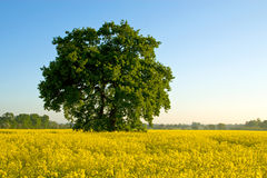 Albero di estate nel campo giallo Fotografia Stock Libera da Diritti